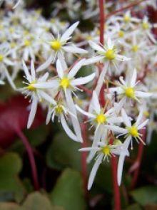 Saxifraga cortusifolia 'Rubrifolia' (Herfststeenbreek, Steenbreek)