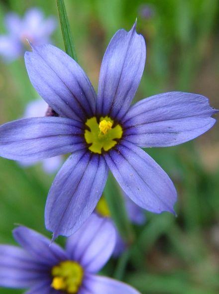 Sisyrinchium angustifolium (Bieslelie, Blauw ogengras)