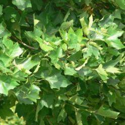 Platanus x acerifolia 'Alphen's Globe' - Bolplataan