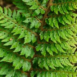 Polystichum setiferum 'Foliosum Superbum' - Zachte naaldvaren