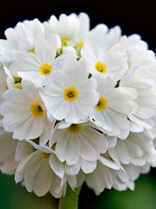 Primula denticulata 'Alba' (Witte Sleutelbloem)