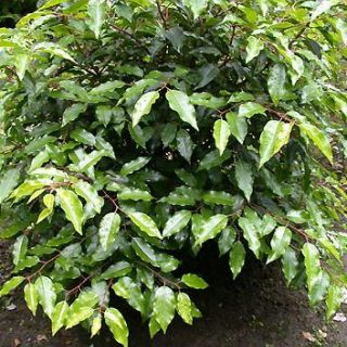 Prunus lusitanica 'Angustifolia' (Portugese laurier, groenblijvende boom)