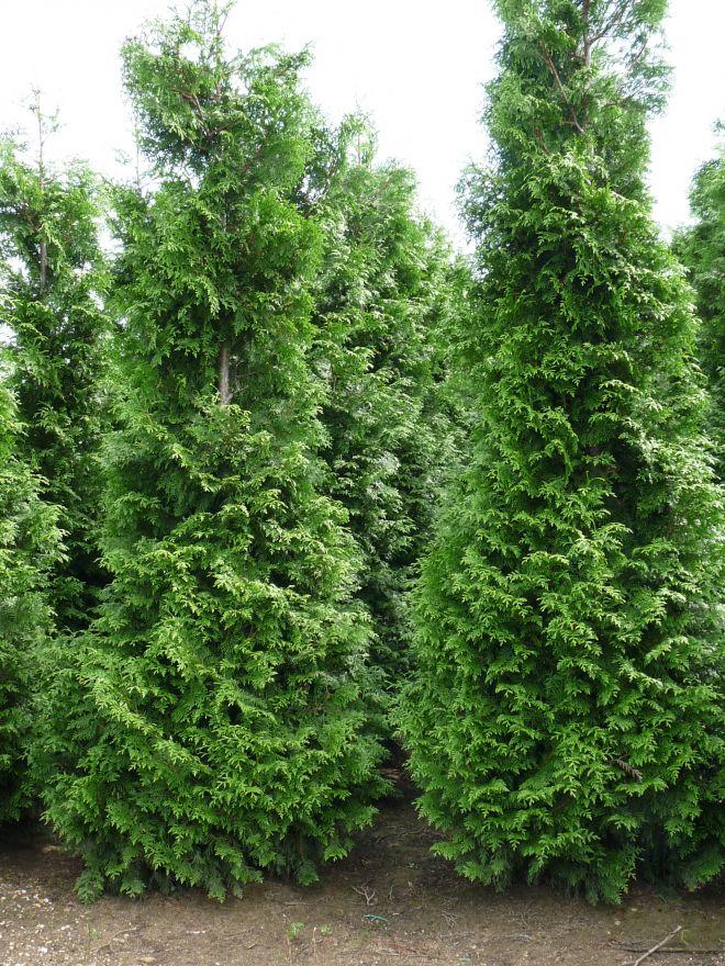 Thuja occidentalis 'Brabant' (levensboom, Haagconifeer)
