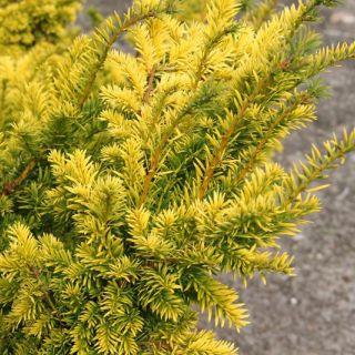 Taxus baccata 'Semperaurea' (Gele Venijnboom)