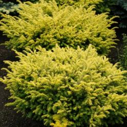Taxus baccata 'Washingtonii' - Venijnboom