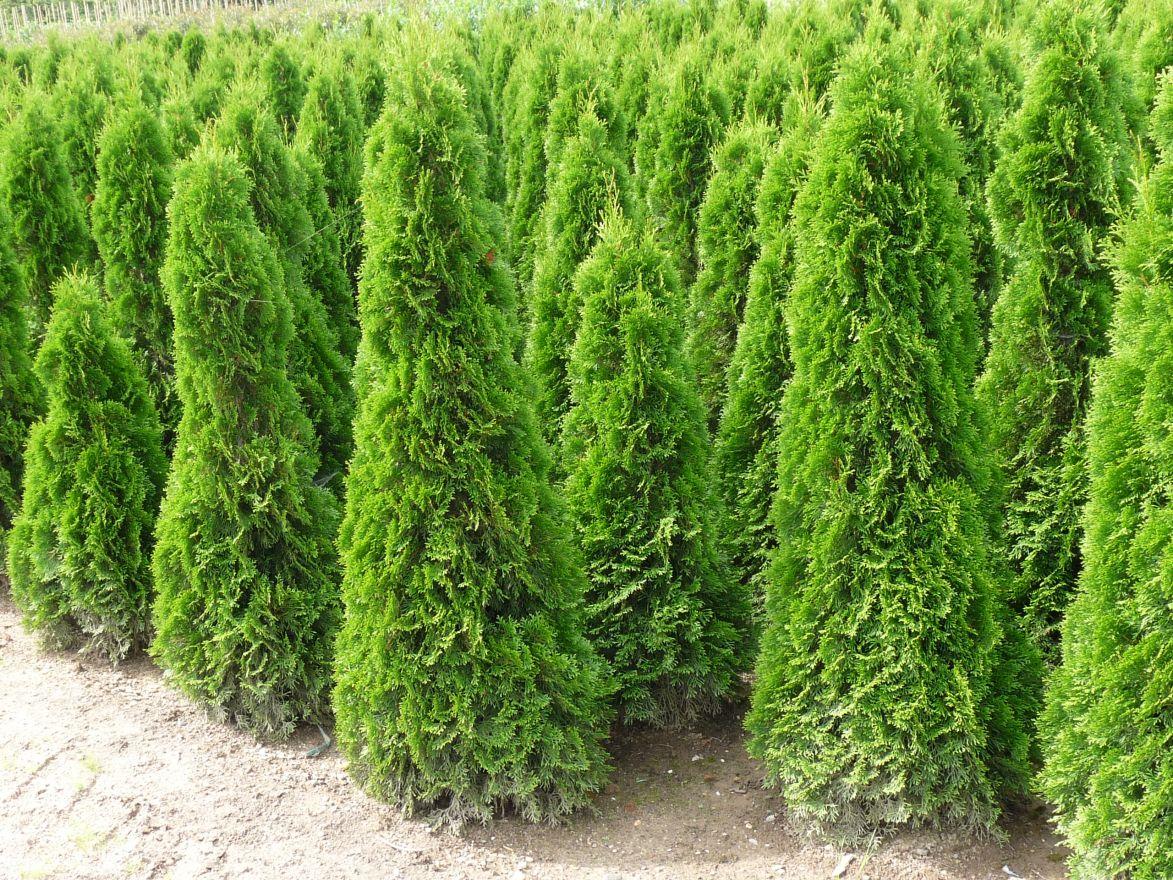 Thuja 'Smaragd' (levensboom, Haagconifeer)