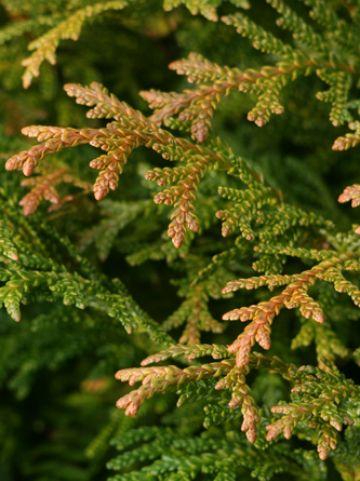 Thujopsis dolabrata 'Nana' - Hibacipres