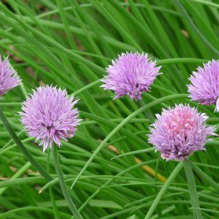 Allium schoenoprasum (bieslook - Schnittlauch)