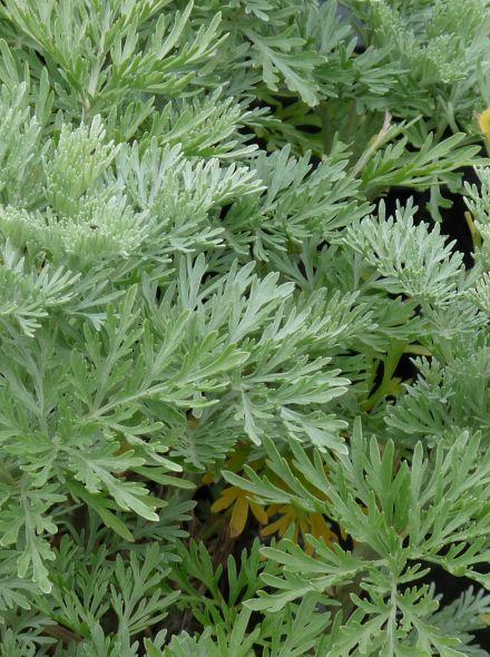 Artemisia absinthium (absint)