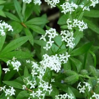 Galium odoratum - Asperula odorata (lieve vrouwe bedstro - Labkraut, Waldmeister)