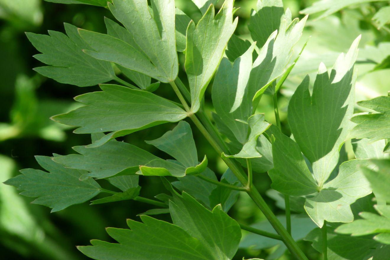 Levisticum officinale (Lavas - Maggieplant - Liebstöckel)