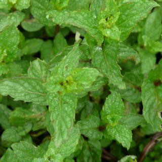 Mentha piperita (pepermunt- munt - Minze)
