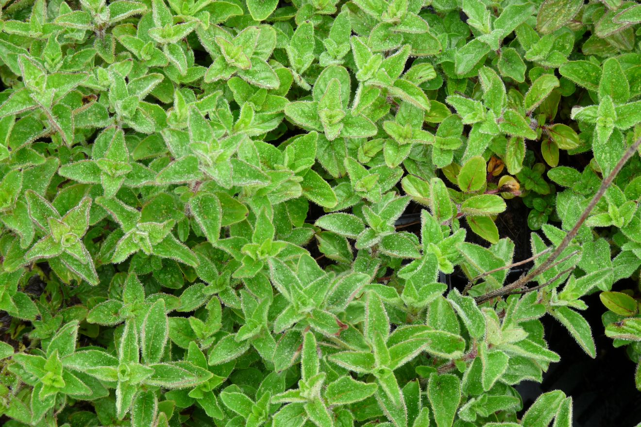 Origanum vulgare (marjolein - Majoran)