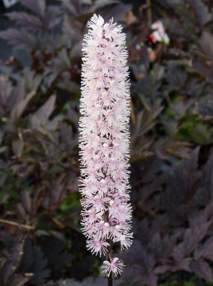 Actaea simplex 'Brunette', Cimicifuga ramosa 'Brunette' (Zilverkaars)