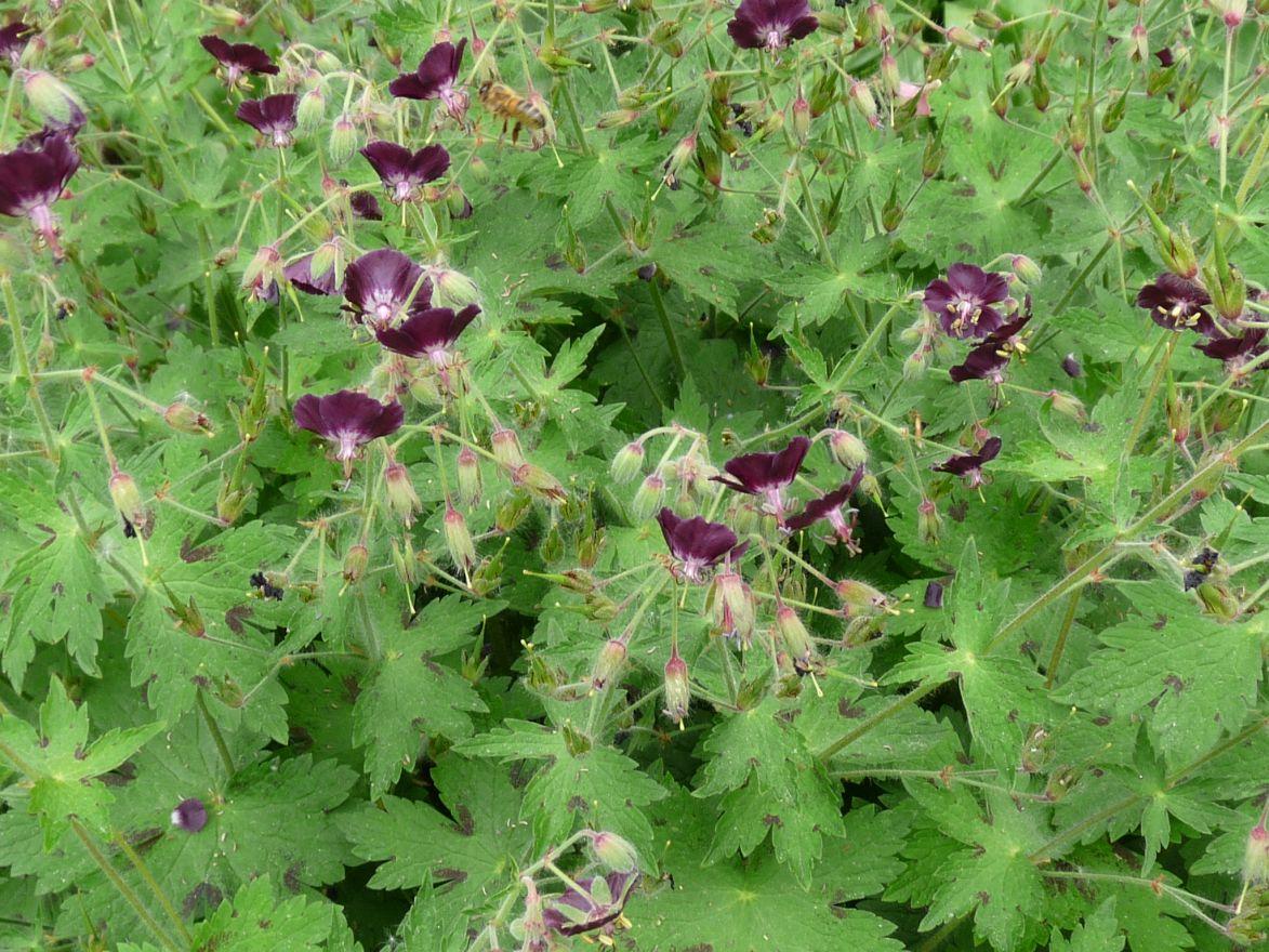 Geranium phaeum 'Samobor' (Ooievaarsbek)