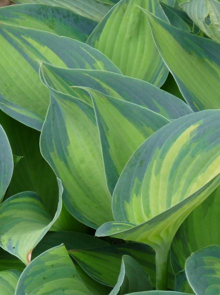 Hosta 'June' (Hartlelie)