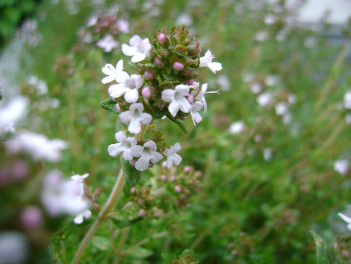 Thymus vulgaris (tijm - Thymian, gewone keukentijm)