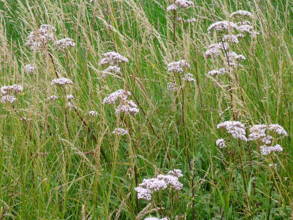 Valeriana officinalis (valeriaan - Baldrian)