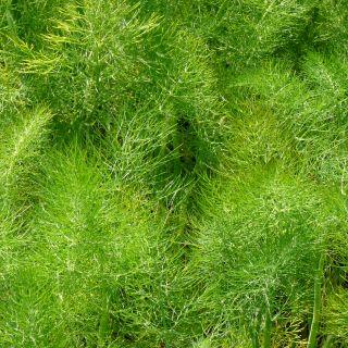 Foeniculum vulgare (Venkel)