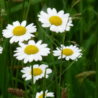 Anthemis nobilis (Schubkamille of Roomse kamille)