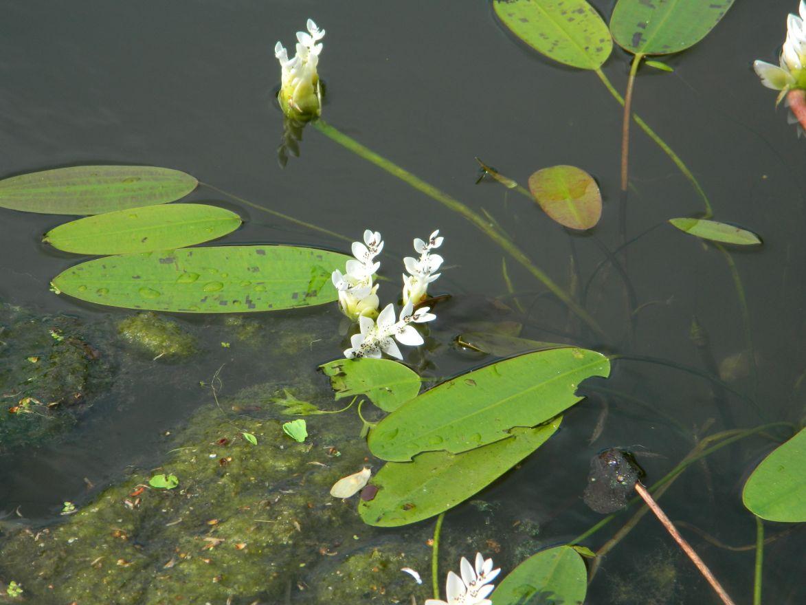 Aponogeton distachyos (Kaapse waterlelie) in mand per 4 stuks