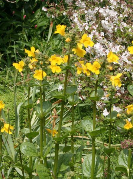 Mimulus luteus (gele maskerbloem)