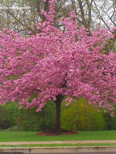 Prunus serrula - Sierkers
