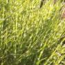 Miscanthus sinensis 'Zebrinus' (Prachtriet, Chineesriet, Chinaschilf, Chinese silver grass)