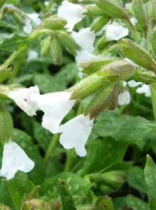 Pulmonaria officinalis 'Sissinghurst White' (Longkruid)