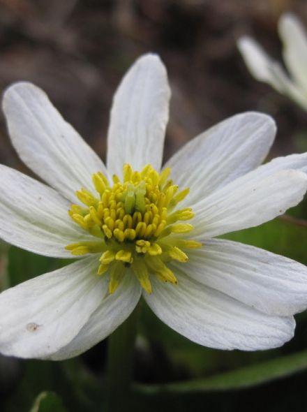 Caltha palustris Alba (Witte doterbloem) per 3 stuks