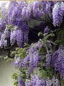 Dakboom Wisteria sinensis 'Prolific' (Blauwe regen)
