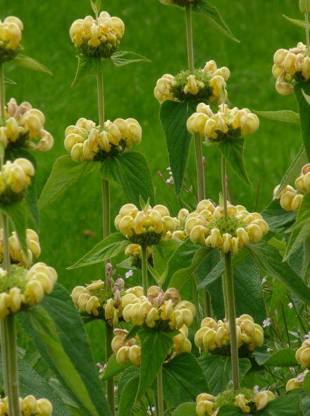 Brandkruid (Phlomis russeliana) - p9