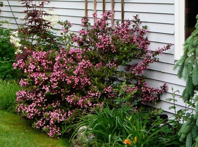 weigela florida 39 nana purpurea 39 weigela de tuinen van appeltern. Black Bedroom Furniture Sets. Home Design Ideas