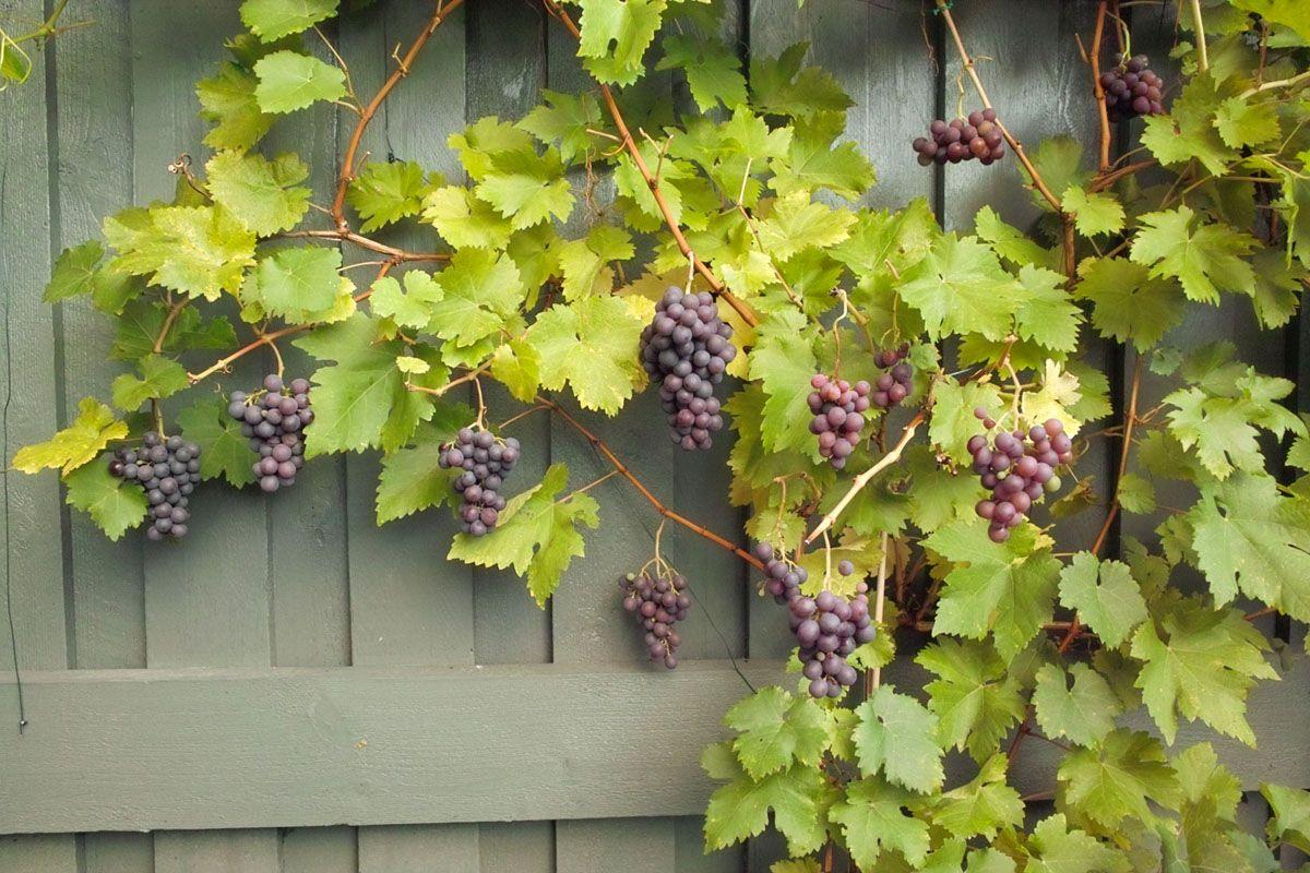 Vitis Boskoop Glory (Vitis vinifera Boskoop Glory, druif, Blauwe buitendruif) - struik in container