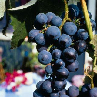 Vitis vinifera Boskoop Glory (Blauwe druif, druivelaar, Blaue Traube, Traubenrebe, Blue Grape vine)
