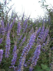 Vitex agnus-castus (Monnikspeper of Kuisboom)