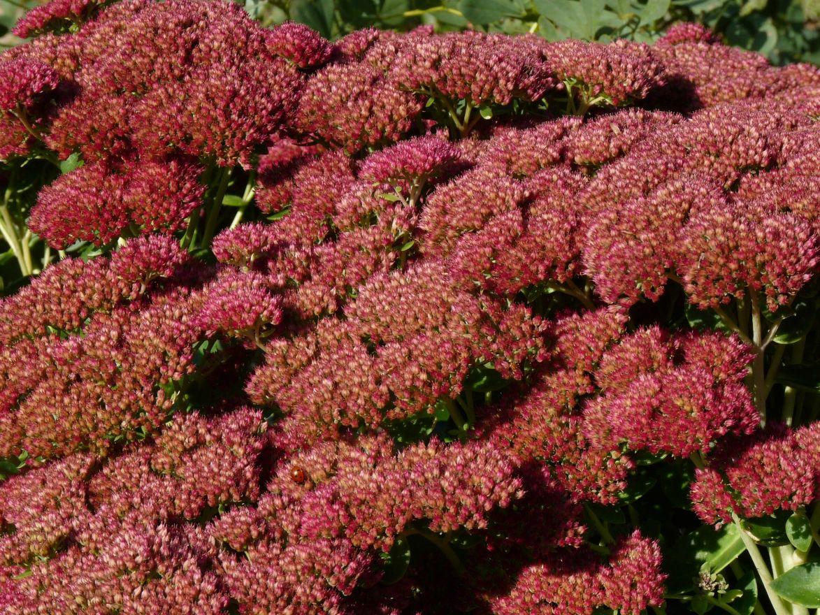Sedum spectabile 'Herbstfreude' (Vetkruid, Hemelsleutel)