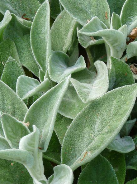 Ezelsoor (Stachys byzantina 'Big Ears') - p9