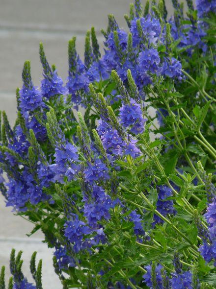 Veronica austriaca 'Royal Blue' (Ereprijs, Brede ereprijs)