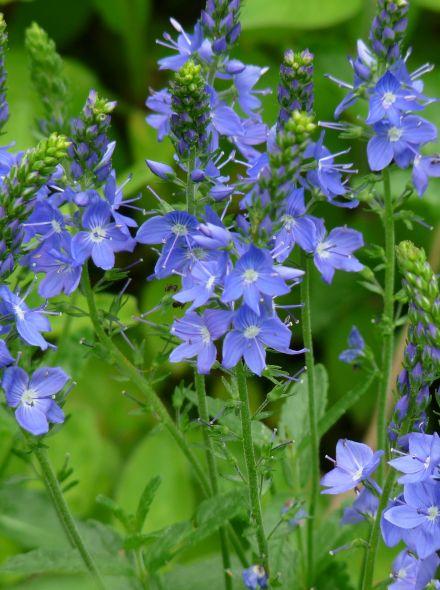 Veronica austriaca 'Shirley Blue' (Ereprijs)