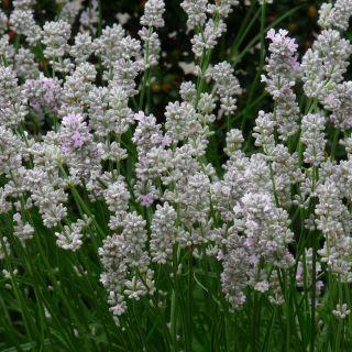 Lavandula angustifolia 'Alba' (Witte lavendel)