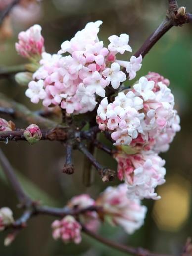 Viburnum bodnantense 'Dawn' - Sneeuwbal