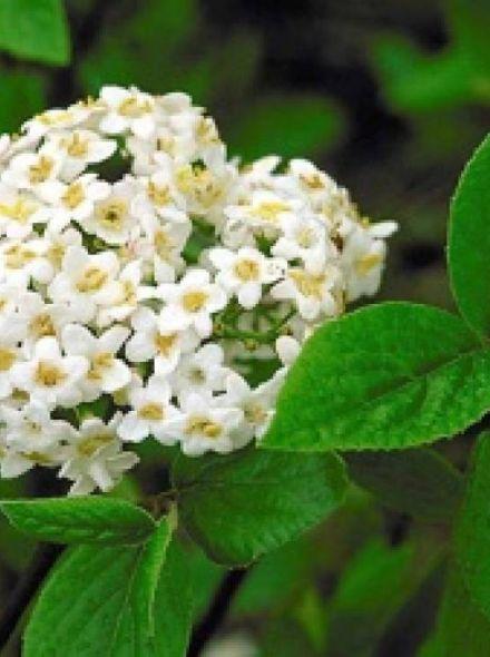 Viburnum burkwoodii 'Anne Russell' (Sneeuwbal)