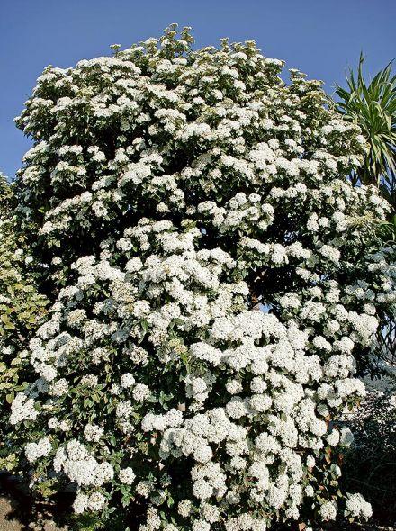 Viburnum tinus (Wintergroene Sneeuwbal)