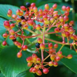 Viburnum sieboldii - Sneeuwbal
