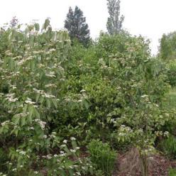 Viburnum setigerum 'Aurantiacum' - Sneeuwbal