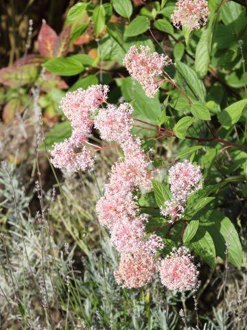Ceanothus x pallidus 'Marie Simon' -  Amerikaanse sering, herfstsering