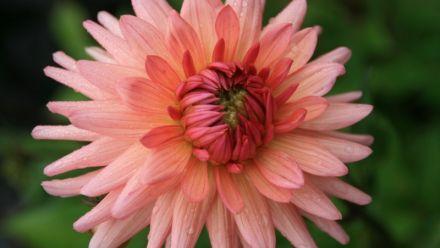 Zomerbloeiende bloembollen (knollen)