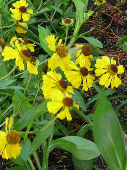 Helenium bigelovii 'The Bishop' (Zonnekruid)