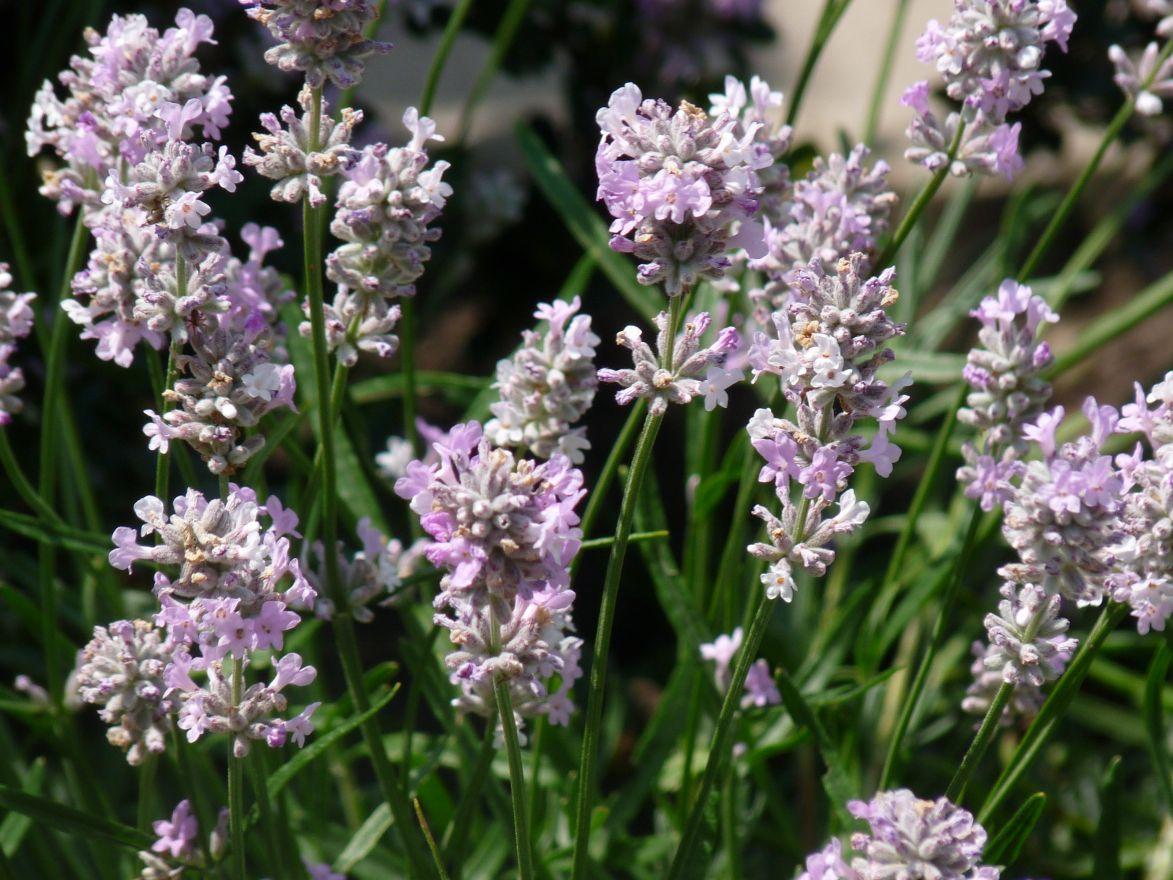 Lavandula angustifolia 'Rosea' (Lavendel)